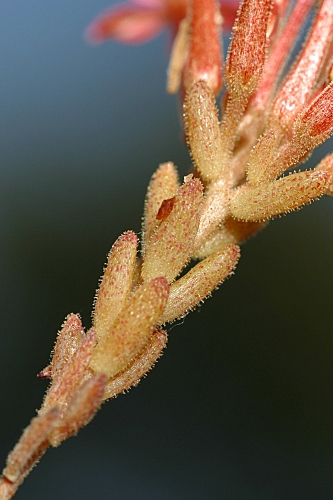 Pistorinia hispanica (L.) DC.