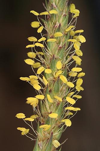 Plantago alpina L.