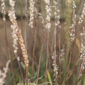 Plantago crassifolia Forssk.