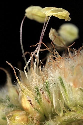 Plantago lagopus L.