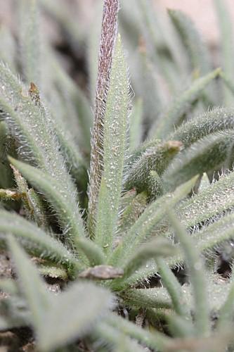 Plantago holosteum Scop.