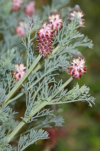 Platycapnos spicata (L.) Bernh.
