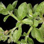 Polycarpon tetraphyllum (L.) L.