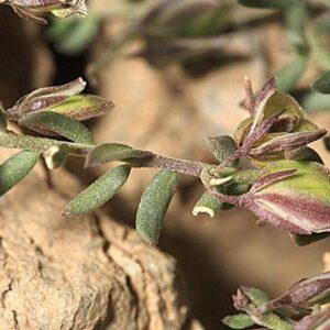 Polygala alpestris (L.) Rchb.