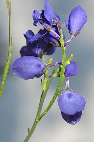 Polygala microphylla L.
