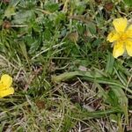Potentilla nevadensis Boiss.