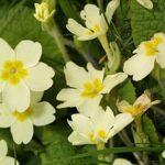 Primula acaulis subsp. acaulis (L.) L