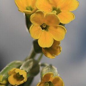 Primula elatior subsp. lofthousei (Hesl.-Harr.) W.W. Sm. & Fletcher