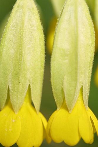 Primula veris subsp. veris L.