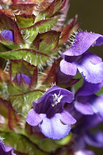 Prunella vulgaris L.