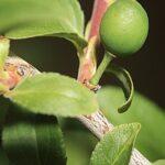 Prunus insititia L.