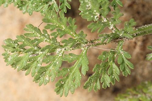 Pseudorlaya pumila (L.) Grande