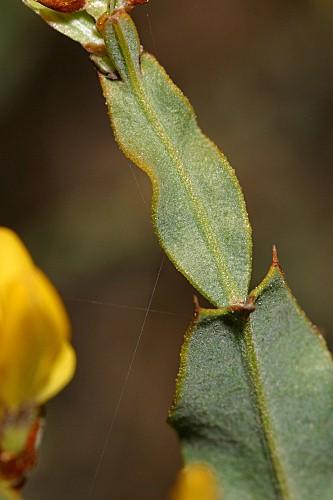 Pterospartum tridentatum (L.) Willk.