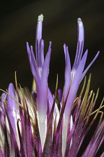 Ptilostemon hispanicus (Lam.) Grouter