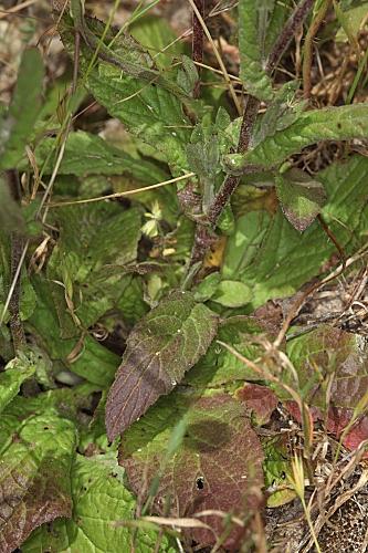 Pulicaria dysenterica (L.) Bernh.