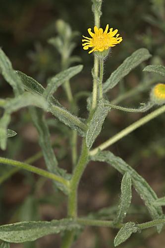 Pulicaria paludosa Link