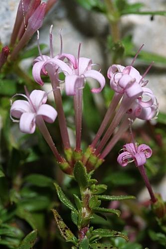 Putoria calabrica (L. fil.) DC.
