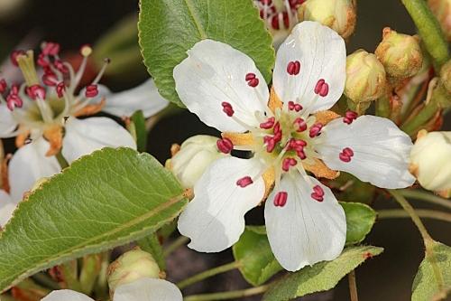 Pyrus bourgaeana Decne