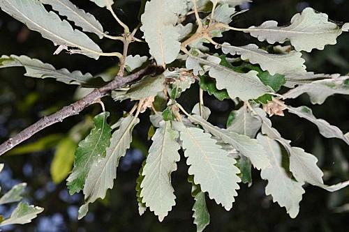 Quercus canariensis (Willd.)
