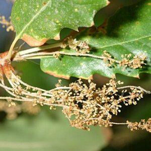 Quercus faginea subsp. faginea Lam.