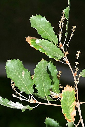 Quercus faginea subsp. faginea Lam.