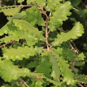 Quercus lusitanica Lam.