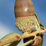 Quercus ilex subsp. ilex L.