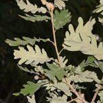 Quercus pyrenaica Willd.