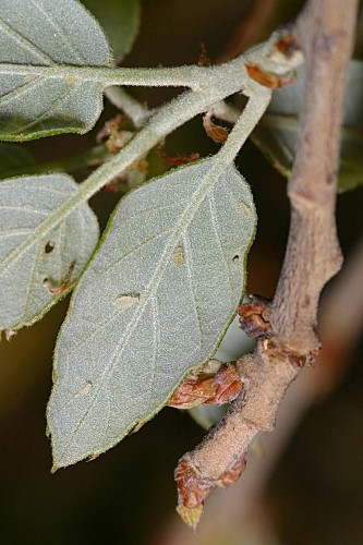 Quercus suber L.