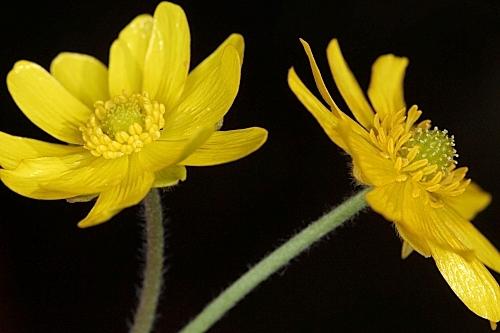 Ranunculus bullatus L.