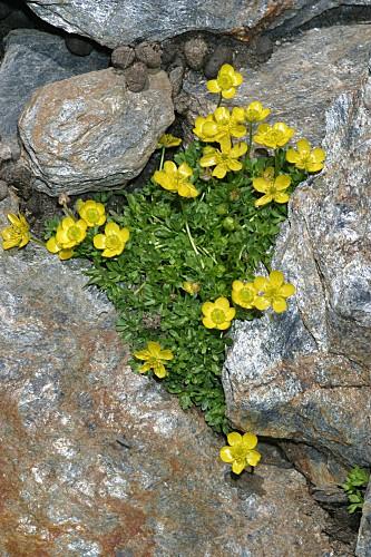 Ranunculus demissus DC.
