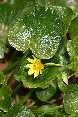 Ranunculus ficaria subsp. ficaria L.