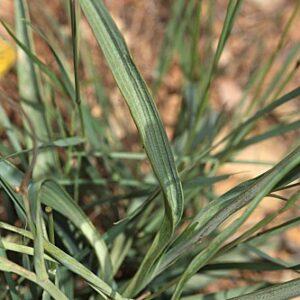 Ranunculus gramineus L.