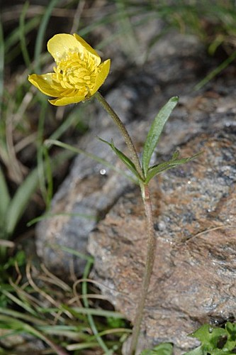 Ranunculus granatensis Boiss.
