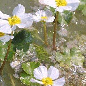 Ranunculus peltatus Schrank