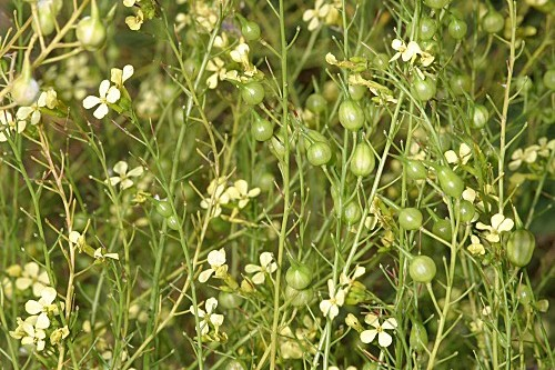 Raphanus raphanistrum subsp. landra (Moretti ex DC.) Bonnier & Layens