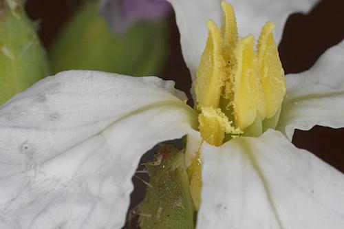 Raphanus sativus L.