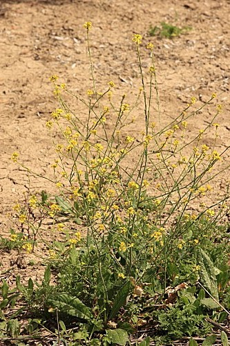Rapistrum rugosum subsp. rugosum (L.) All.