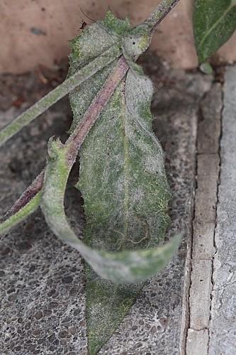 Reichardia intermedia (Schultz Bip.) Samp.