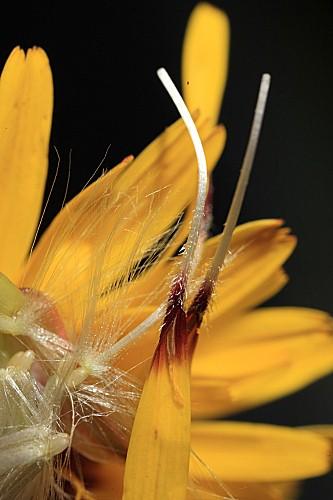 Reichardia tingitana (L.) Roth