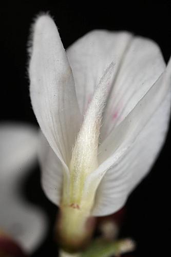 Retama monosperma (L.) Boiss.