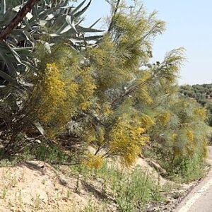 Retama sphaerocarpa (L.) Boiss.