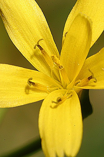Rhagadiolus edulis Gaertn.