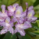 Rhododendron ponticum subsp. baeticum (Boiss. & Reut.) Hand.-Mazz.