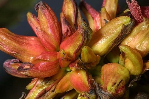 Ricinus communis L.
