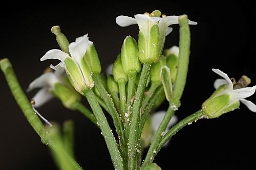 Rorippa nasturtium-aquaticum (L.) Hayek