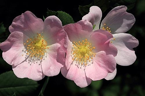 Rosa canina L.
