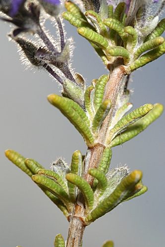 Rosmarinus eriocalix Jord. & Fourr.