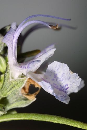 Rosmarinus officinalis L.