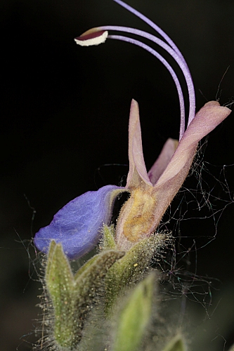 Rosmarinus tomentosus Hub.-Mor. & Maire